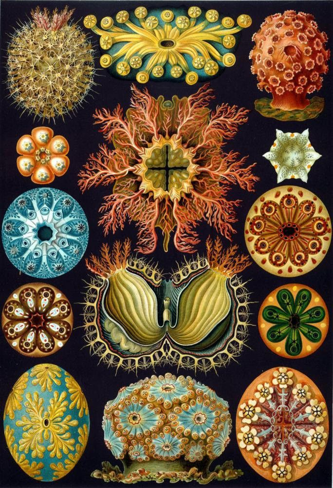 Anemone Forms by Ernst Haeckel Poster
