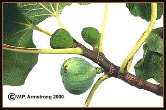 Calimyrna Figs In California