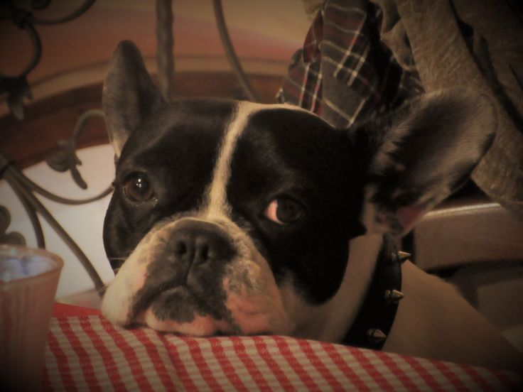 Penny the Dog: a lovable cute french bouledogue.