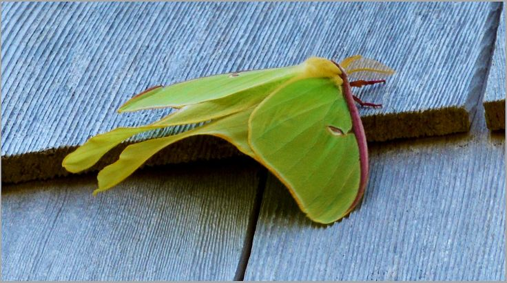 Luna Moth in Cape Breton Island, July 2nd, 2014