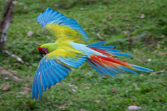 red macaw parrot flying