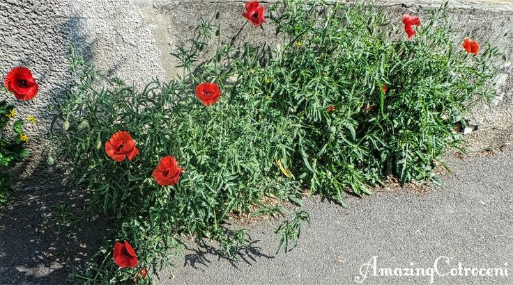Poppies on Ana Davila street