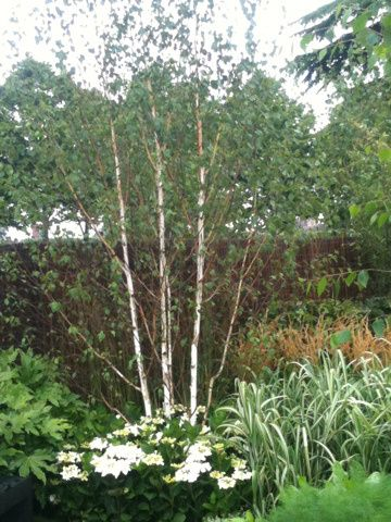 Betula pendula (Silver Birch) multi stem | H Blog