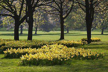 Daffodils in park