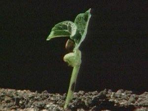 Met versnelde beelden wordt het kiemen van een zaad verduidelijkt. Bij een kiemende boon komen eerst de twee zaadlobben boven de grond. Kort daarna komen de eerste blaadjes. De zaadlobben verschrompelen als hun voorraad reservevoedsel op raakt. De jonge plant maakt daarna haar eigen voedsel met behulp van fotosynthese.