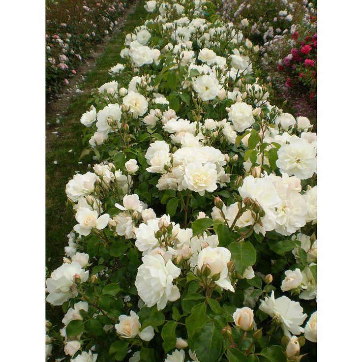 Easy elegance white rose accent shrub in pot with soil