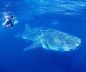 Whale shark diving in Ningaloo Reef, Western Australia