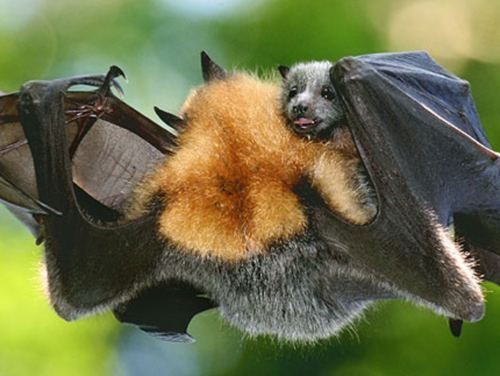 Baby on Board! Flying Fox Bat with her baby!!