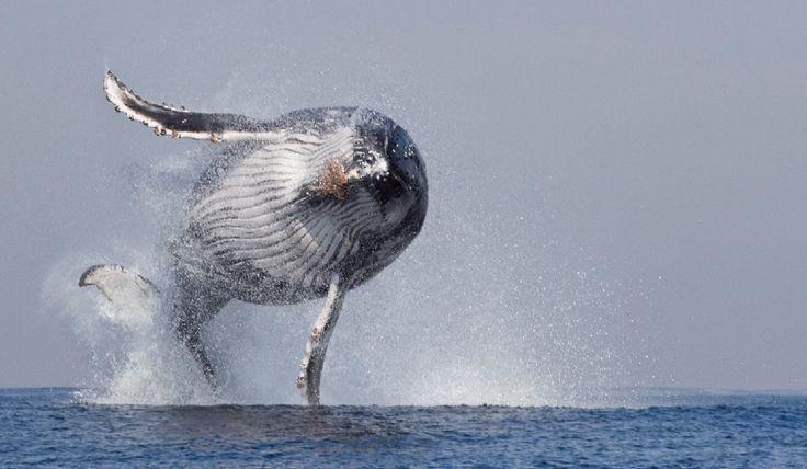 Un momento raro. Una fotosequenza di grande bellezza che svela i segreti della natura: l'esperto di mare Steven Benjamin stava documentando la migrazione di un migliaio di esemplari di balena dalle coste del Sud Africa alle tiepide acque del Mozambico e del Madagascar quando, improvvisamente, questo