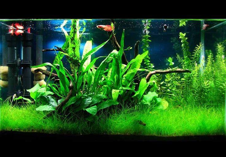 Como configurar um aquário plantado de baixa tecnologia: Guia do aquário low tech  Autor: Sudeep Mandal