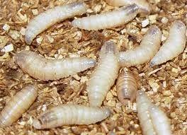 Significado de sonhar com larvas
