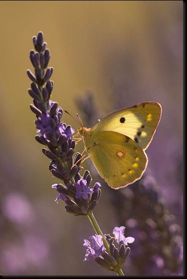 Pretty butterfly on lavender