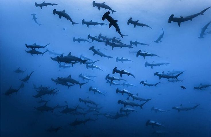 """""""#didyouknow Most sharks are solitary, which means they live and hunt alone. Some hammerhead sharks,…"""""""