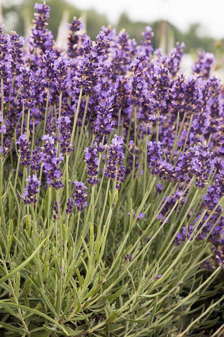TOP 10 Lavender Varieties To Grow in your Garden - Top Inspired
