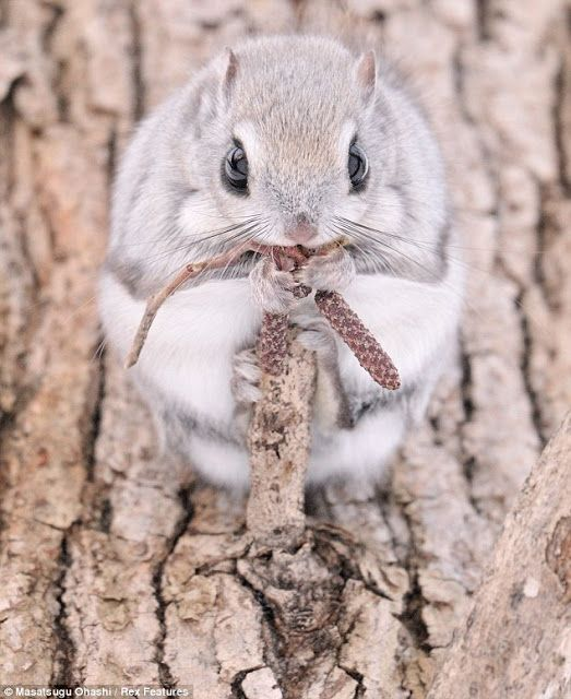 White Wolf : Siberian Flying Squirrels Are Probably One Of The Cutest Animals On Earth