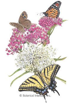 ~ Butterfly Flower Milkweed- A perennial that attracts butterflies and hummingbirds.
