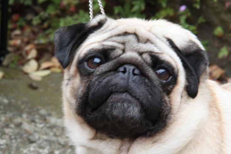 Simon the Pug!