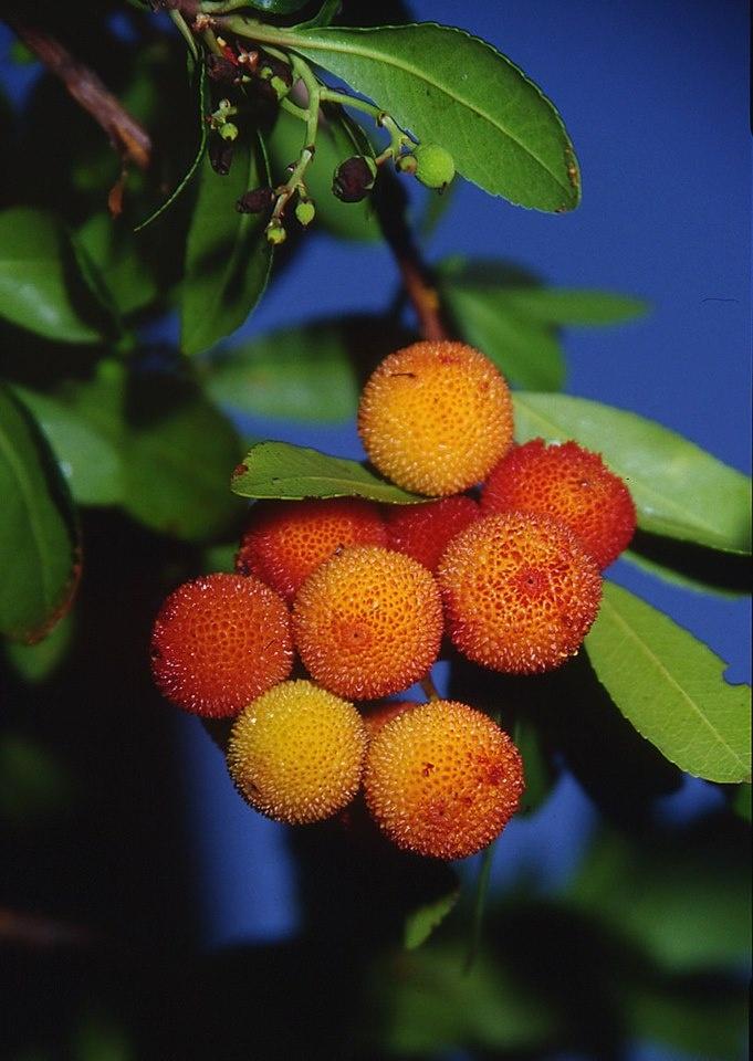 Il corbezzolo, il frutto dal quale prende il nome il Monte Conero, #Marche - www.BedAndBreakfastItalia.com - #MarcheFood #ItalianFood #Food #Italy