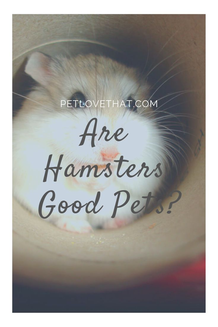 Are Hamsters Good Pets Hamster Pets Animals For Kids