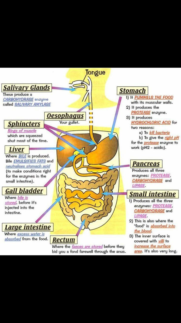Idea by Leslie on Nursing notes | Human digestive system ...