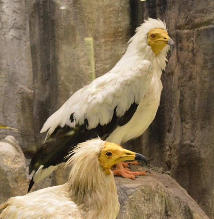 Egyptian vulture Learn more: http://meteoramuseum.gr/en/egyptian-vulture/