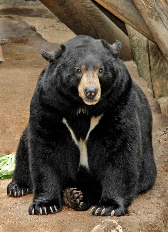 Asian Black Bear (Ursus thibetanus) from the Rainforests of Southeast Asia