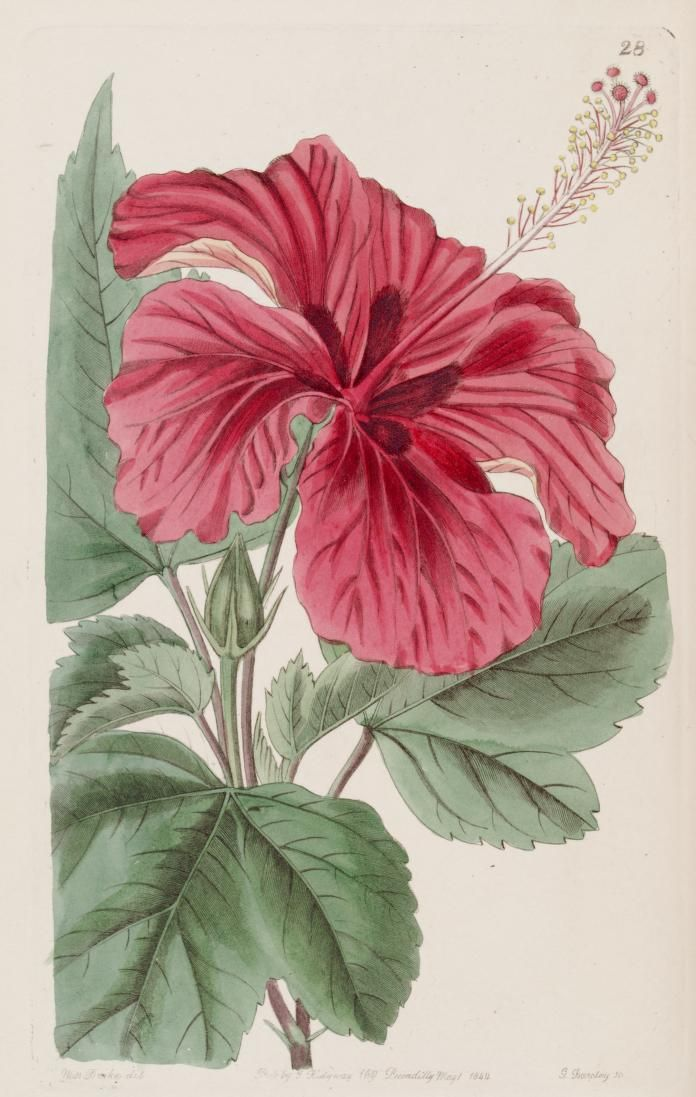 Hibiscus Uses Benefits Side Effects S Lalod