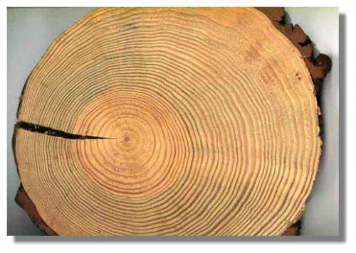 Fissuration d'une grume au séchage. > Un super dossier sur la structure de l'arbre !