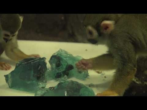 Jell-O Enrichment for Squirrel Monkeys at the Bronx Zoo