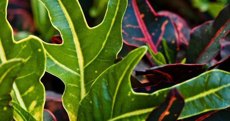 Como enraizar plantas do gênero Croton. A espécie de plantas do gênero Croton, Codiaem variegatum, tornou-se uma popular planta de ambientes internos nos últimos anos. Cobiçadas por suas brilhantes folhas e coloridos padrões que podem ser amarelos, alaranjados, vermelhos, róseos, roxos e verdes. De clima tropical, a planta pode ser gravemente ferida pelo frio, preferindo climas quentes ...