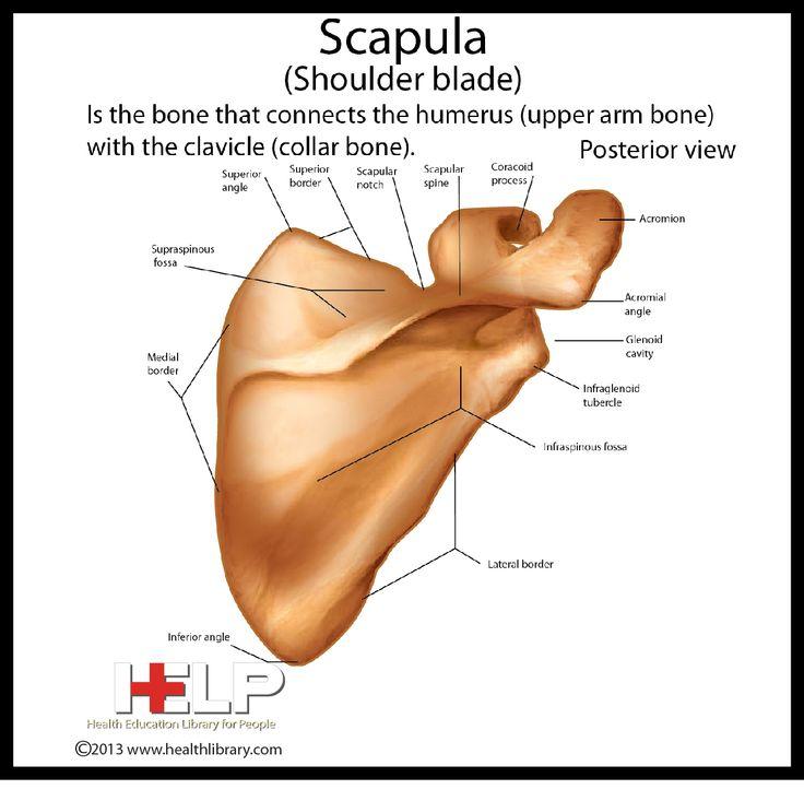 Scapula (Shoulder Blade) Posterior View | Skeletal | Pinterest