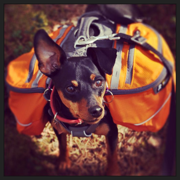 My lovely minpin Dizel with his new backpack!