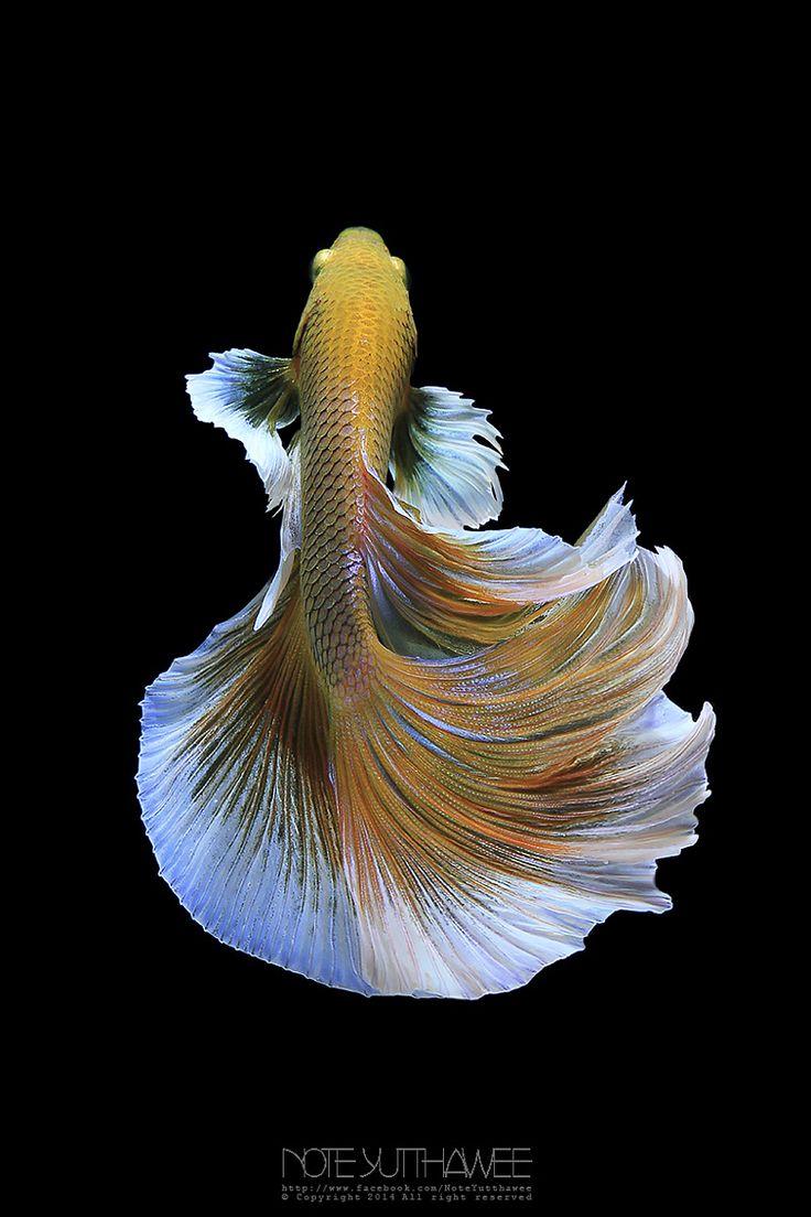Best 25 poisson betta ideas on pinterest poisson for Best place to buy betta fish online