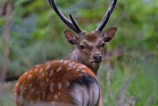 Sika Stag: 48 Best Images About Sika Deer On Pinterest