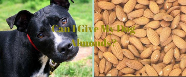 Can Dogs Eat Almonds? | Pet Quest