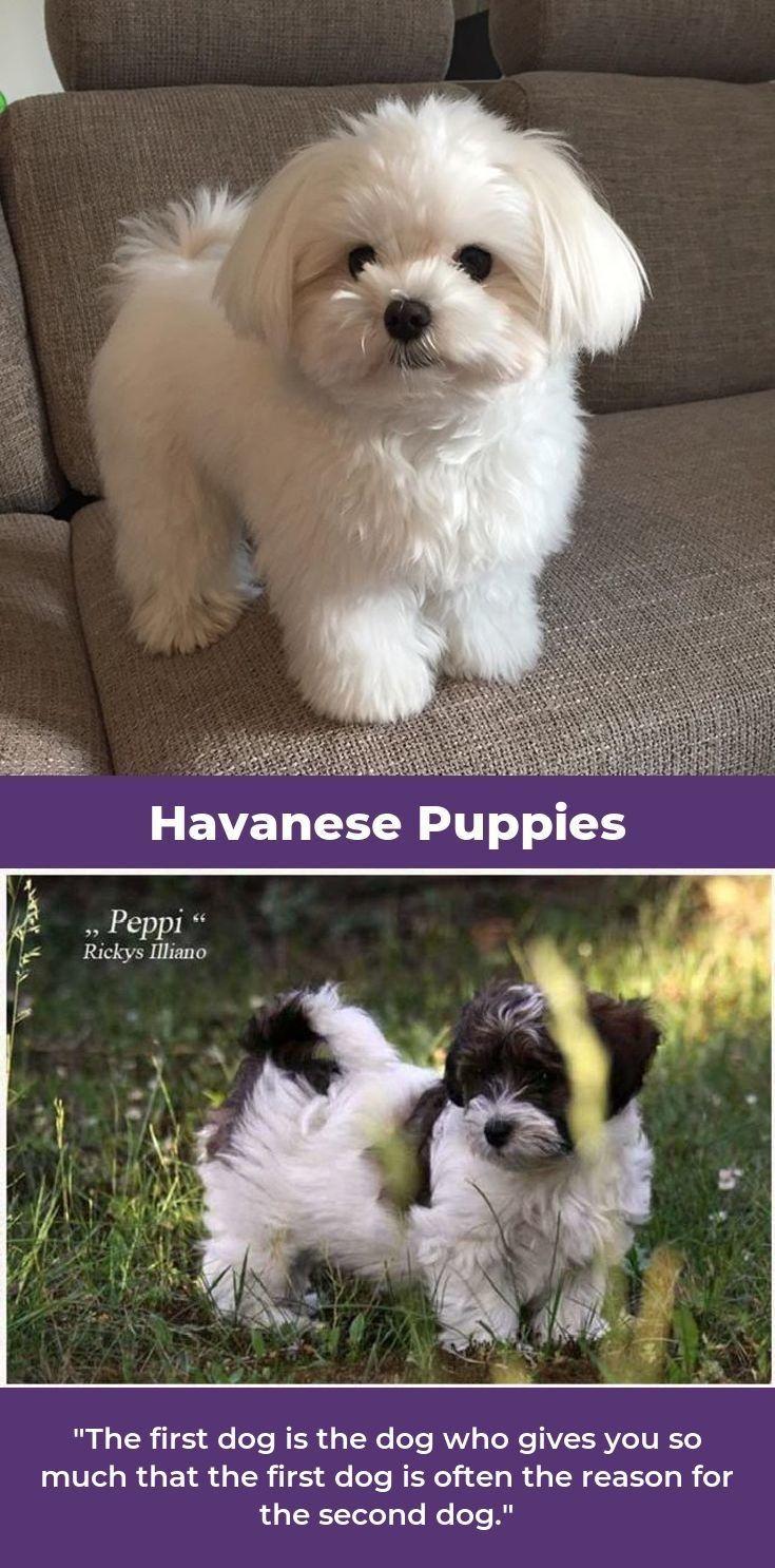 Havanese Dog havaneseworld havaneserwelpe