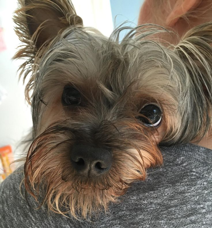 Parti Yorkie Puppies For Sale In Michigan