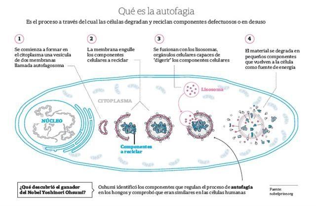 Este año, los US$ 930.000 son para un único investigador, el biólogo japonés Yoshinori Ohsumi, de 71 años, que estudió la autofagia celular