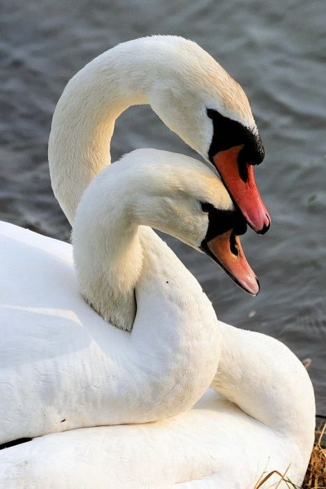 cuddling swans - they mate for life