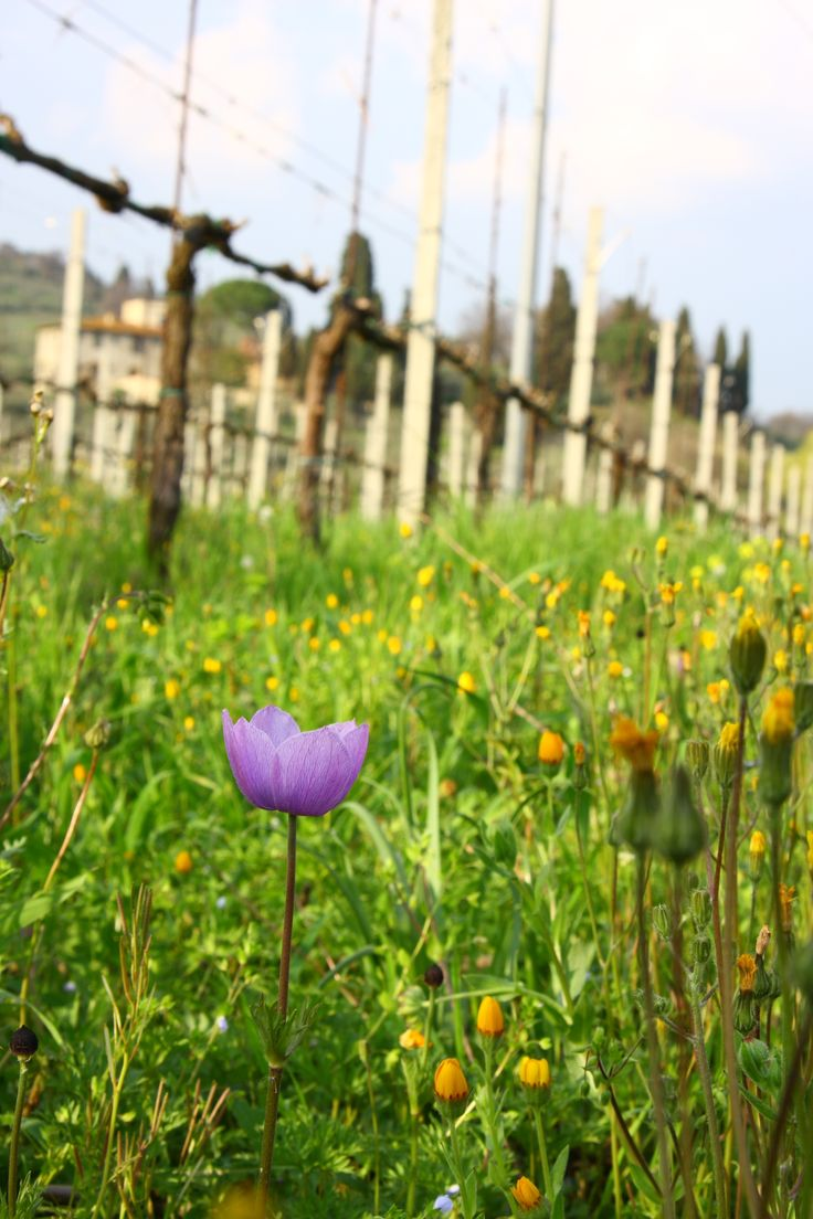 a purple Anemone in the vineyard