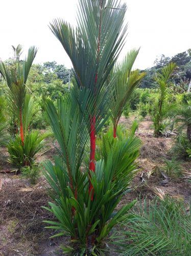 Cyrtostachys renda ou Palmeira Lakka