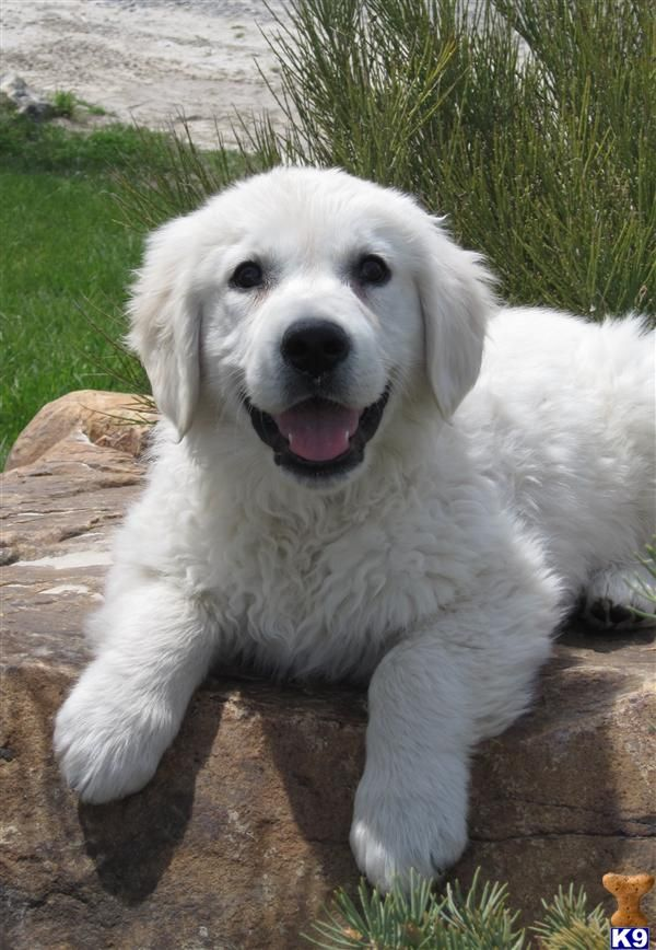 Want this English Golden Puppy (coat color indicates English decent).