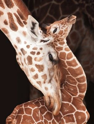 A mother giraffe affectionately nestles her head into the arched neck of her newborn at Hogle Zoo in Salt Lake City. After a 15-month gestation, a calf begins life with a five-foot drop: Females give birth while standing up. A newborn stands about 6 feet tall and can recognize its mother by her coat's distinct pattern.