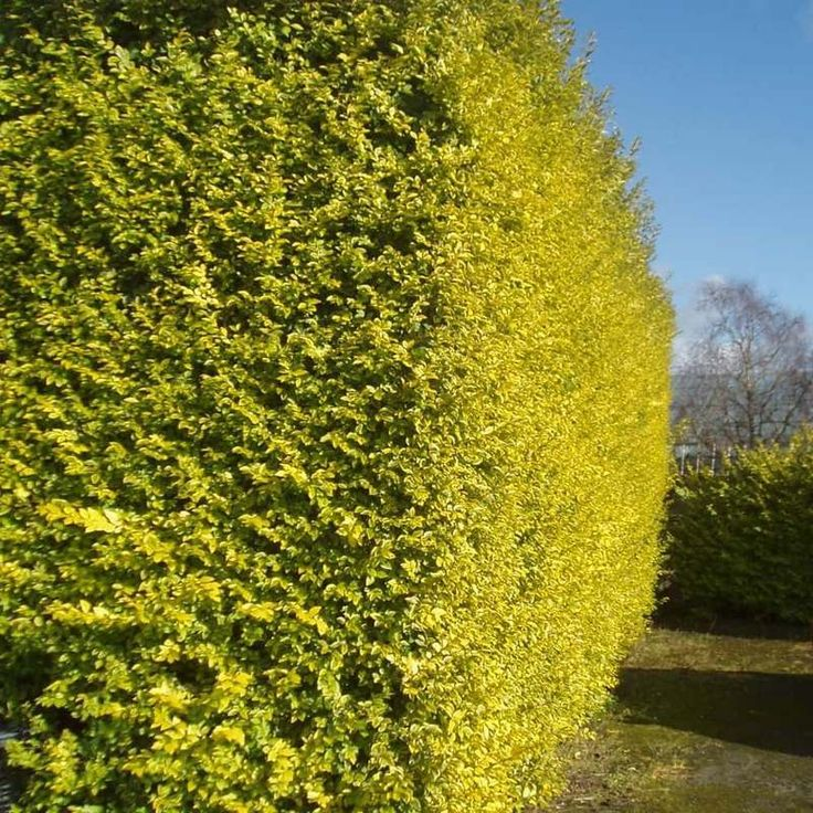 The Best Time To Trim A Privet Hedge