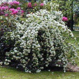 Vida a lo Verde*Living in Green*: Ideas de plantas que puedo sembrar en mi jardín este verano. Arbustos con flores, color y aroma para el jardín