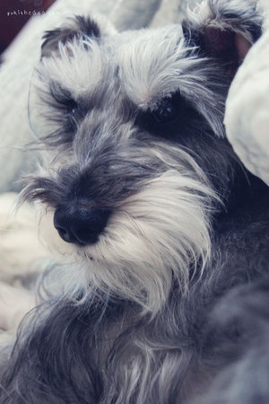 Mending Rocket by Melissa Heard #Miniature #Schnauzer