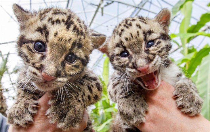 Δύο μικρές νεφελώδεις λεοπαρδάλεις, είδος που απειλείται με εξαφάνιση, «ποζάρουν» στο ζωολογικό πάρκο Olmense στο Βέλγιο. Σύμφωνα με τους ειδικούς, μόλις 10,000 ζώα του είδους έχουν απομείνει στον πλανήτη.