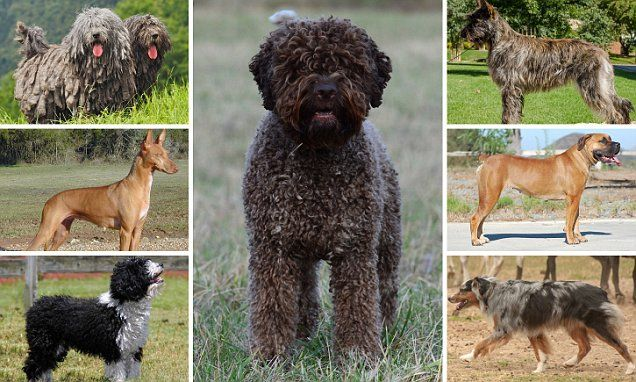 Seven new dog breeds to be unveiled by American Kennel Club