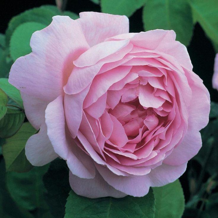 constance spry rosas inglesas o David Austin