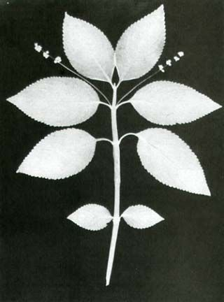 "William Henry Fox Talbot ""Botanical Specimen""- 1839- Photogenic Drawing"
